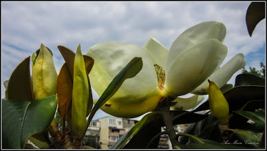 Photo: Magnolia grandiflora - din Parcul Teilor - 2017.06.01