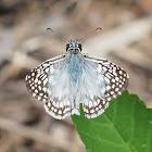 Tropical Checkered Skipper (male)