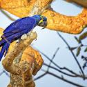 Arara-azul-grande (Hyacinth Macaw)