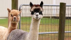 Alpaca-lypse thumbnail