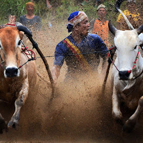 Closer by Achmad Tibyani - Sports & Fitness Other Sports ( bull race, tanah datar, indonesia, sport, pacu jawi )