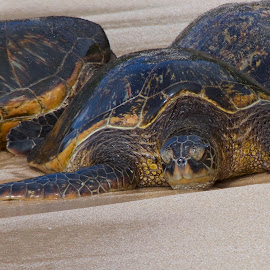 Green Sea Turtle by D. Bruce Gammie - Animals Amphibians ( ocean, beach, green sea turtle, maui, resting turtle )