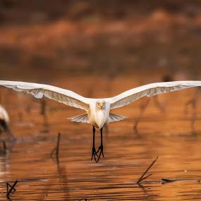 Keep Calm and Just Glide by Furrukh Shahzad - Animals Birds ( nature, furrukh, glide, nikon, feather, birds, egret, golden hour,  )