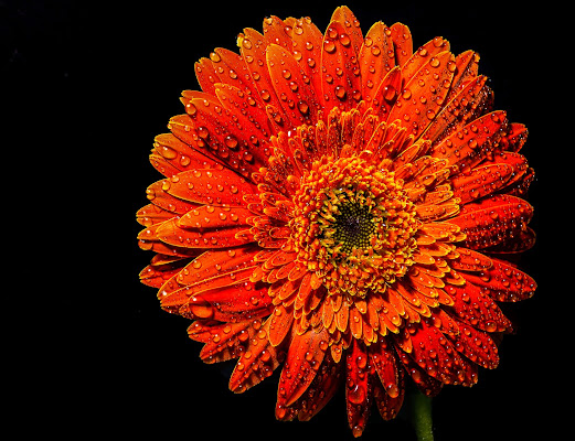 Un semplice fiore di Diana Cimino Cocco