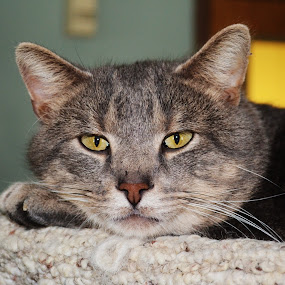 Resting  by Michael Cowan - Animals - Cats Portraits (  )