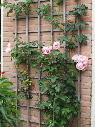 Một bụi hồng leo Nahema rose, trồng dọc tường. Nguồn sưu tầm
