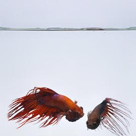 Cupang by Sjubaidah Luvis - Animals Fish