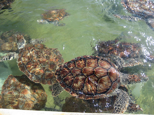 The turtle pool at the Grand Cayman Turtle Farm.