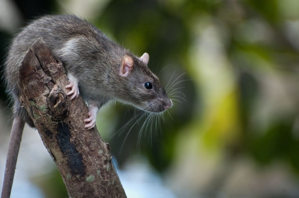 4 Home Maintenance Tips to Protect Your Roof from Roof Rat Infestation