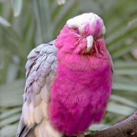 Bird pink by Bert Templeton - Animals Birds ( pink, bird, australia, texas, fort worth, cockatoo, bert templeton,  )