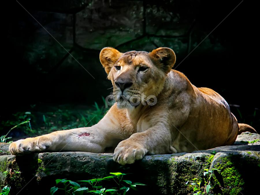 by Ari Rahmadani - Animals Lions, Tigers & Big Cats