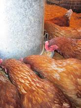 Photo: Chicken buffet