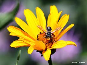 Photo: Bee on sunflower.