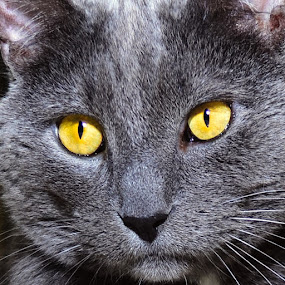 Ved  by Michael Cowan - Animals - Cats Portraits ( cat, shelter, adopt,  )
