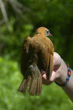 Photo: hermit thrush