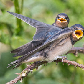 Feed me by Steve BB - Animals Birds ( hungry, beak, young, bird, yellow, swallows, wing )