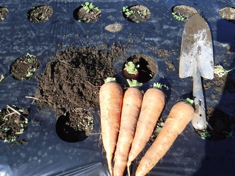 黒田五寸人参も収穫のたびに、よく育ったいい形のものを母本選抜して埋めます。葉っぱは取り除きます。