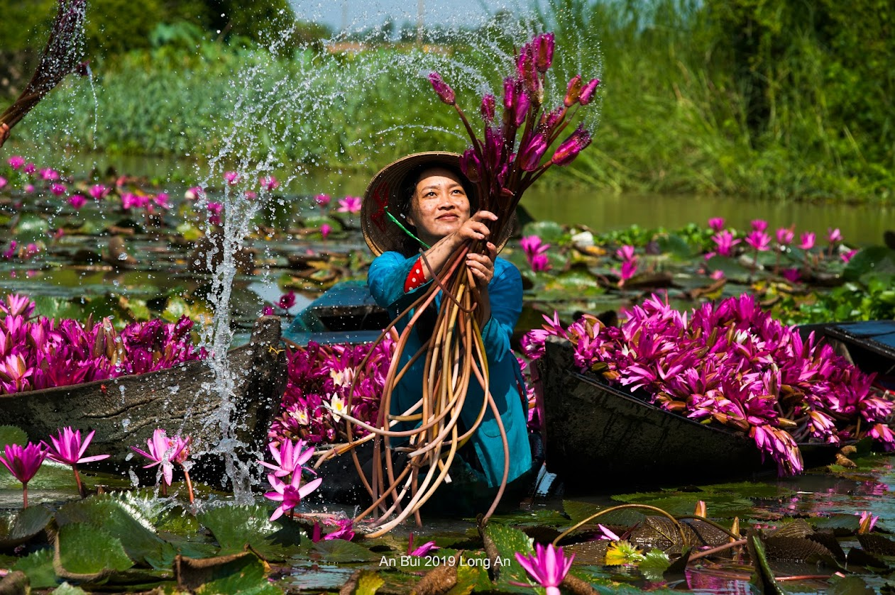 Harvesting water lily flowers in Mekong Delta