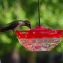 Ruby Throat Hummingbird