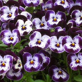 Pansies by Viive Selg - Flowers Flower Gardens (  )