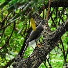 Accipiter trivirgatus 鳳頭鷹