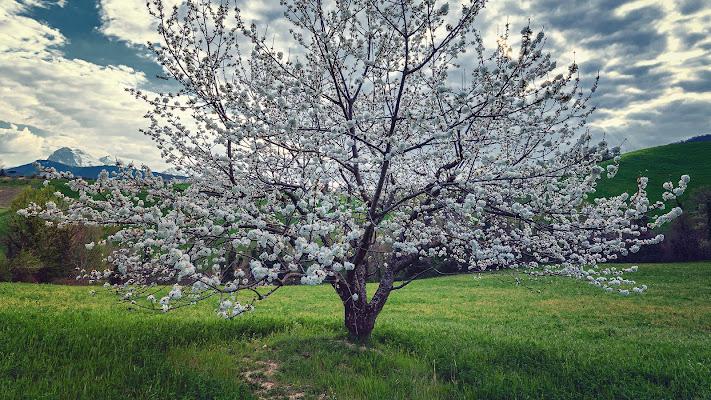 Ciliegio in fiore di renzodid