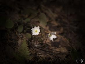 Photo: Hepatica nobilis (The rarish white variant)  Valkoinen sinivuokko