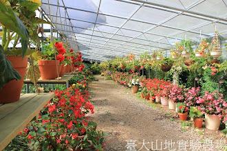 Photo: 拍攝地點: 梅峰-溫帶花卉區-秋海棠花廊 拍攝日期:2012_07_24_FY