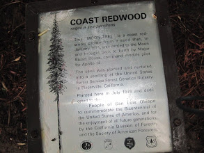 Photo: Another giant redwood