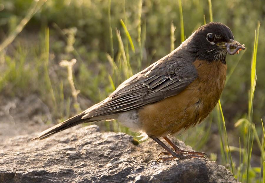 Rockin' Robin by Antonio Winston - Novices Only Wildlife ( bird, worm, outdoors, feathers, birds, antonio winston )