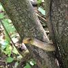 Aesculapian Snake