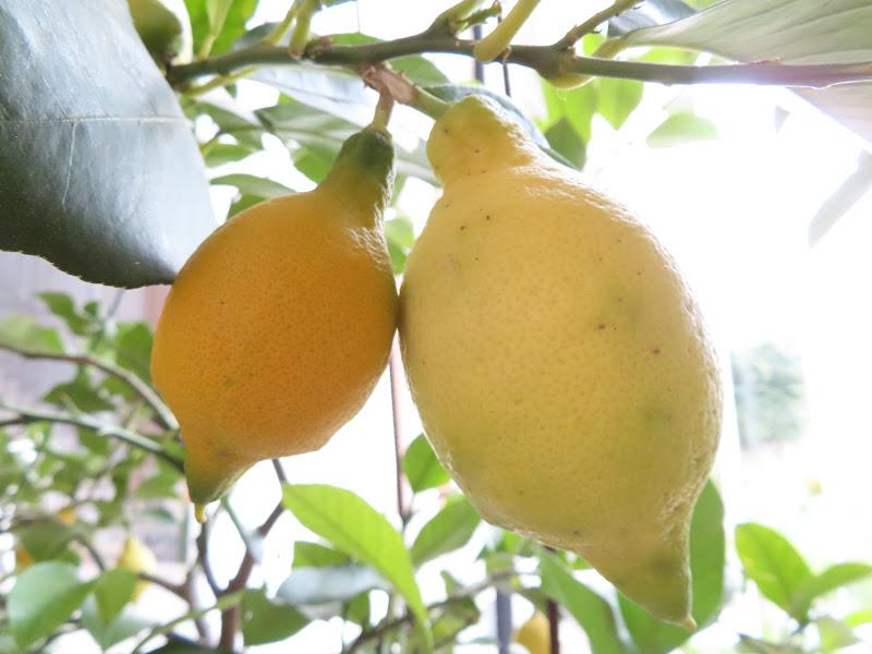 Limoni di CeCa