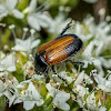 Nectar Beetle
