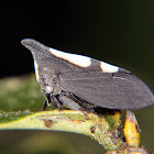 White dotted treehopper