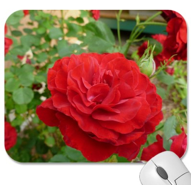 Photo: Roses here is a a page full of photos taken of 3 different types of rose bushes and individual roses  roses at Zazzle my rose gardens http://www.zazzle.com/renderlyyours/roses+gifts  I stepped out into my back yard & the beauty wonder and magic of nature surrounds me.