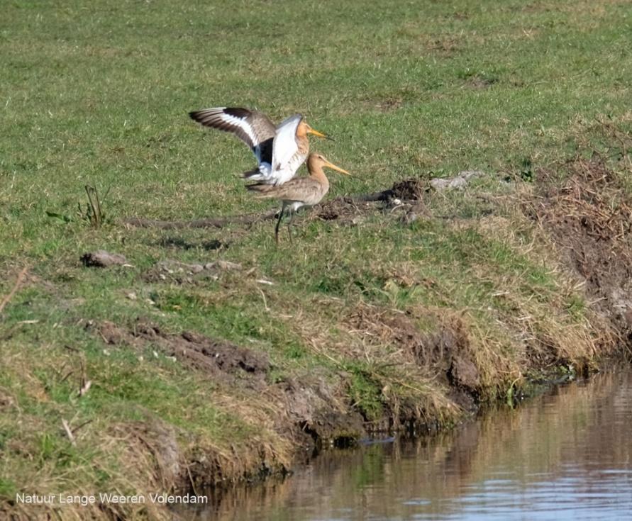 Afbeelding met gras, buiten, vogel, watervogel  Automatisch gegenereerde beschrijving