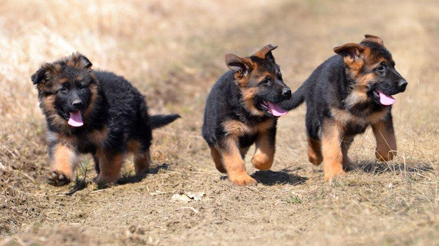 1480454420_german-shepherd-dog-photo-2.jpg