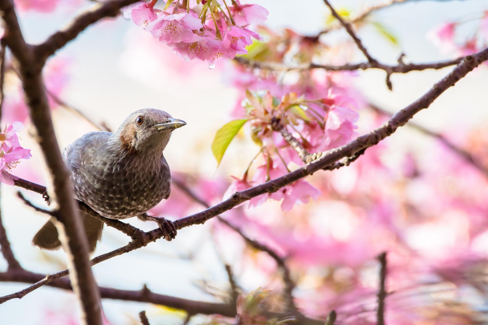Photo: 「目を輝かせて」 / Shining eyes.  目をキラキラと 体も前へ前へ 我慢なんてできないね 一緒に春を楽しもう  Brown-eared Bulbul. (ヒヨドリ)  Nikon D7200 SIGMA 150-600mm F5-6.3 DG OS HSM Contemporary  #birdphotography #birds #kawaii #nikon #sigma #小鳥グラファー  ( http://takafumiooshio.com/archives/952 )