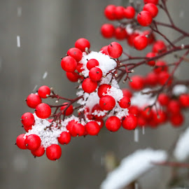 Red Berries by Kathy Suttles - Nature Up Close Other Natural Objects