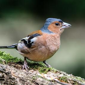 by Jim Keating - Animals Birds ( bird, tree, chaffinch,  )