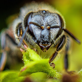 Dwarf Honey Bee by Gaurav Madhopuri - Novices Only Macro ( macro photography, gaurav, photography, eyes, honey bee )