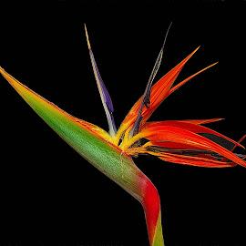 Strelitzia reginae by Johann Fouche - Flowers Single Flower ( strelitzia, south african flower, strelitzia reginae, flower, red flower,  )