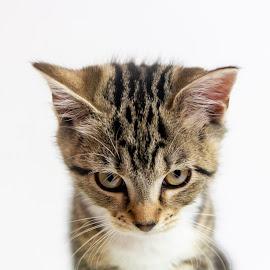 Kitty by Lee Aron - Animals - Cats Kittens ( small, kitten, cat, animal, kitty, pet,  )