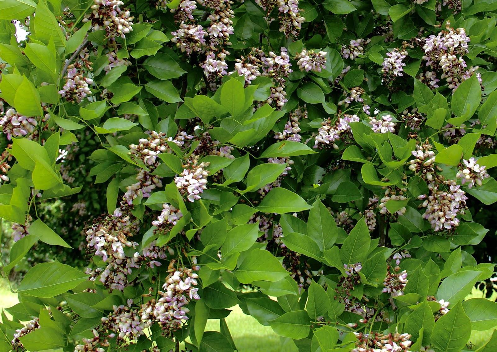 ஆக்சிஜனை அதிகரிக்கும் புங்க மரம்