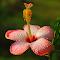 !Hibiscus4.jpg