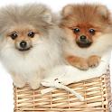 Pomeranian Spitz Dogs Wallp icon