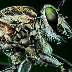 Mr Robber Fly by Cibo Heriansyah - Animals Insects & Spiders