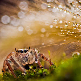 Lonely Mimin by Daniel Karamoy - Animals Insects & Spiders ( macro, wild life, nature, indonesia, spider )