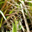 Grey-Green Clubtail Dragonfly