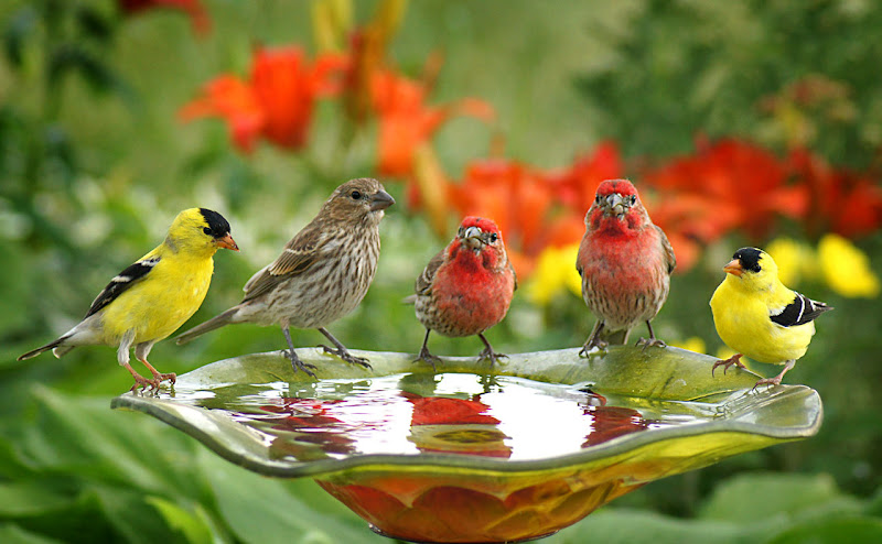 Photo: Garden Party  I went to a garden party to reminisce with my old friends A chance to share old memories and play our songs again Rick Nelson  Here's a line-up of some common characters at the birdbath and feeders in our yard.  American Goldfinches and House Finches.  For the  #breakfastclub  - curated by +Gemma Costa & +Andrea Martinez; #plusphotoextract   Prints available on my photo blog: http://popsdigital.com/?p=2124